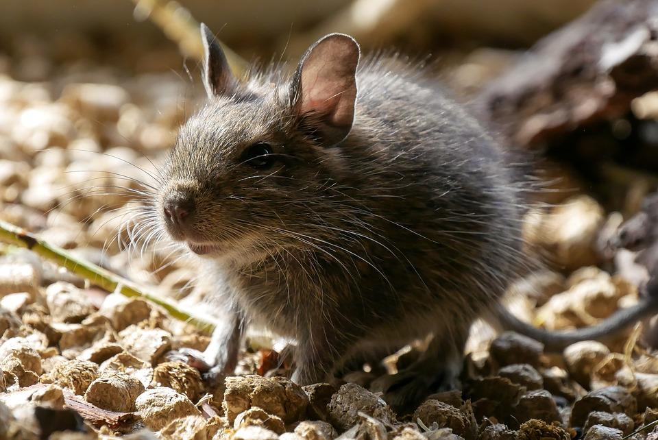 Besoin de se débarasser de rats ?